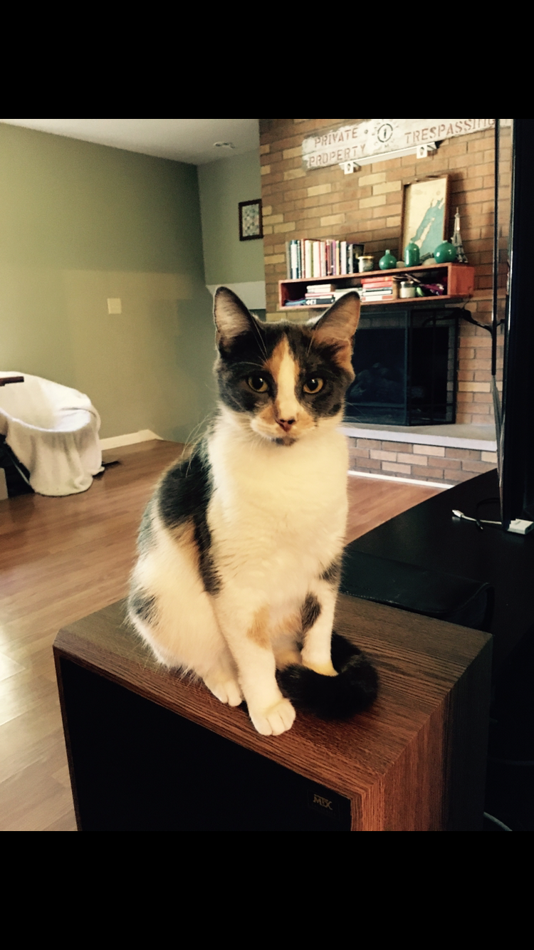 Illinois mclean county colfax - Lost Dilute Calico Cat In East Normal